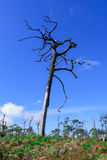 Dead pine from wildfire against blue sky. Royalty Free Stock Image