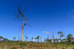 Dead pine from wildfire against blue sky. Stock Photography