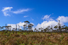 Dead pine from wildfire against blue sky. Stock Images