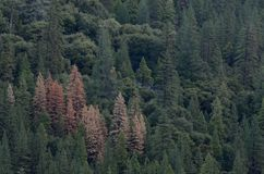 Dead Pines. Group of dead pine trees in forest Royalty Free Stock Photos