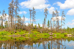 Dead Pines in the North Woods Stock Images
