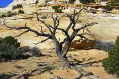 Dead Pinyon Stock Photos