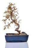 Dead plant (Carmona) in a bonsai pot isolated. Royalty Free Stock Photo