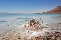Dead plant in the Dead Sea Stock Photography