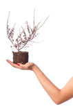 Dead Plant On Girl Hand. Isolated photo of a dead plant, on a girl hand. The plant stands on her palm, her arm is visible Stock Photography