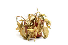 Dead plant isolated on white. Dead plant with dry leaves closeup isolated on white Stock Photo