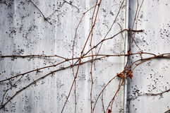 Dead plant wall Stock Image