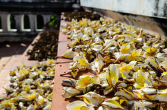 Dead Plumerias Royalty Free Stock Photography