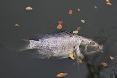 Dead, poisoned fish lies on the river bank.The impact of toxic e Royalty Free Stock Photos
