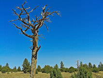 Dead Ponderosa Pine Tree. In high mountain forest, Flagstaff, Arizona Royalty Free Stock Photography