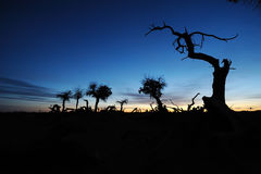 Dead popular diversifolia forest in autumn dawn Stock Image