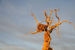 Dead popular diversifolia tree with Birds Nest Royalty Free Stock Photography