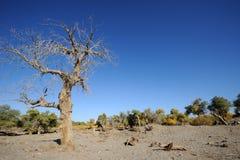 Dead populus euphratica tree Royalty Free Stock Image