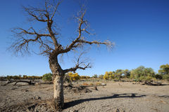 Dead populus euphratica tree Royalty Free Stock Photos