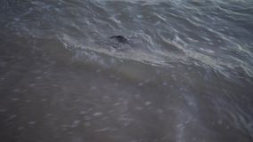 Dead puffer ball fish in the sea. Dead puffer ball fish wash up on shore in Thailand stock video footage