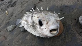 Dead puffer fish washed up on the beach Royalty Free Stock Photo