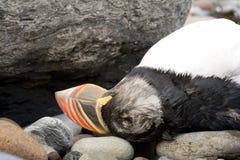 Dead puffin bird. Lying on rocky or pebbled beach Stock Photos