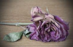 Dead purple rose Stock Images