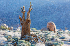 Dead Quiver Tree Royalty Free Stock Photography