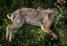 Dead Rabbit (Leporida) in the Grass Stock Image