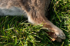 Dead Rabbit's Front Legs (Leporida). Close up Royalty Free Stock Photography