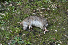 Dead rat Royalty Free Stock Images