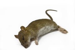 Dead rat. On white background Royalty Free Stock Photo