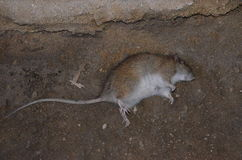 Dead rat. On brown background Royalty Free Stock Photography