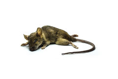 Dead rat. Close up shot of Dead rat on isolate background Stock Image