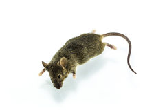Dead rat Stock Photography