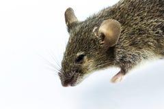 Dead rat Stock Image