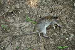 Dead rat Royalty Free Stock Photos