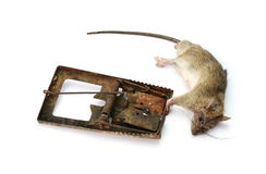 Dead rat killed by rat-trap on white background Stock Photography