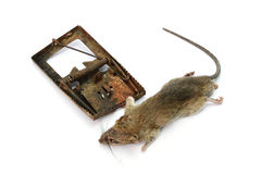 Dead rat killed by rat-trap on white background Stock Photo