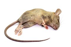 Dead rat Mouse, Isolated on White Background. Rat are carriers of pathogens, so find a way to eliminate rat stock photo
