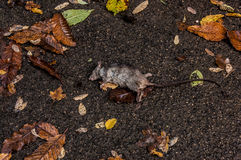 Dead Rat. A dead rodent I found in the woods Royalty Free Stock Image
