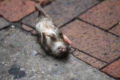 Dead rat. At sidewalk or street Royalty Free Stock Photo