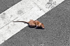 Dead rat Stock Photos