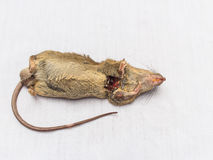 Dead rat Stock Photos