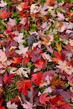 Carpet of fallen red leaves on the ground. Autumn season fallen leaves with beautiful shades of red made a carpet on the ground royalty free stock photos