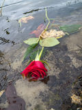 Dead Red Roses Floating in a Lake Royalty Free Stock Photo