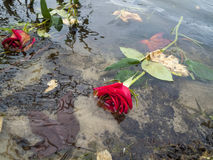 Dead Red Roses Floating in a Lake Royalty Free Stock Photos