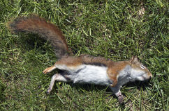 Dead Red Squirrel Royalty Free Stock Image