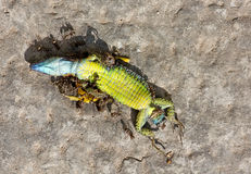 Dead Reptile Eaten By Ants Royalty Free Stock Photography
