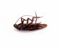 Dead Roach. Picture of a dead roach isolated on white Royalty Free Stock Image