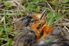 Dead robin bird portrait Stock Image