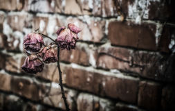 A Dead Rose. A faded pink rose with a brick background Royalty Free Stock Images