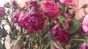 Dead rose Stock Image