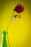 Dead rose in a green bottle royalty free stock images