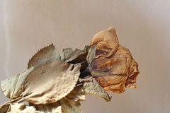 Dead rose. Photos dead roses on brown background vintage style Stock Photography